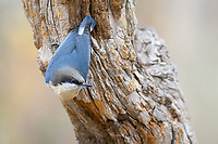 Pygmy Nuthatch (Sitta pygmaea). Deschutes National Forest, Oregon. September
