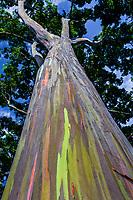 Looking up the colorful trunk of a rainbow eucalyptus tree, Dole Plantation Center, Wahiawa, O'ahu.