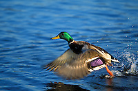 Mallard Duck drake (Anas platyrhynchos) jumping (taking flight).
