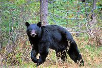 Black Bear (Ursus americanus).  Northern Rockies.  June.