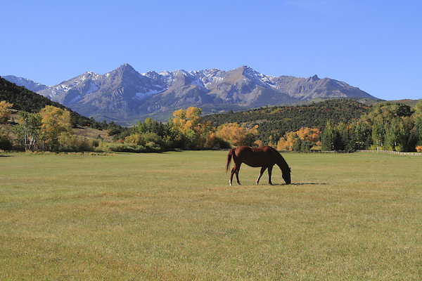 Horse grazing in pasture with the Sneffels Range, Colorado.