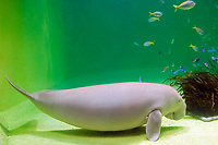 dugong, Dugong dugong (c), female, note a nipple or teat located in the armpit, Indo-Pacific Ocean