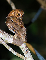 We had a brief encounter with this Tropical screech owl one night in Emas National Park.