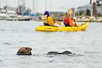 Sea Otter (Enhydra lutris) near kayakers, Elkhorn Slough, Monterey Bay, California