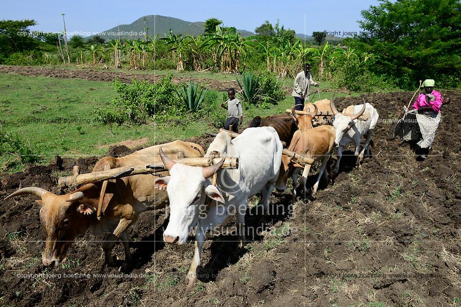 TANZANIA Region Mara, Musoma,  village Bokabwa, Kuria tribe, subsistence farmer work in maize field, family is ploughing with cow and ox / TANSANIA Region Mara, Musoma, Dorf Bokabwa, Kuria Ethnie, Subsistenzbauern pfluegen ein Feld mit Kuehen fuer den Maisanbau