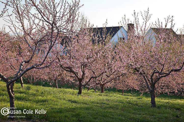 Peach orchard in Hollis, NH, USA