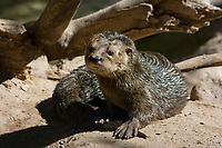 spotted-necked otter or speckle-throated otter, Hydrictis maculicollis (formerly Lutra maculicollis), native to sub-Saharan Africa