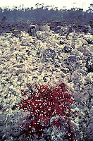 Hawaiian snow, a lichen covering a lava flow along the Saddle Road on the Big Island.