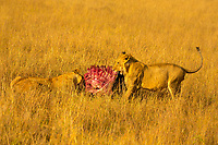 Lion and lioness sharing red meat prey with beautiful, blurred yellow savanna grass and acacia tree background in Masai Mara national park, Africa
