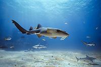 Nurse Shark (Ginglymostoma cirratum) swimming with sharks and reef fish, Bahamas - Caribbean Sea.