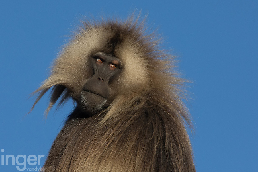 Gelada Baboons in the Simien Mountains of Ethiopia