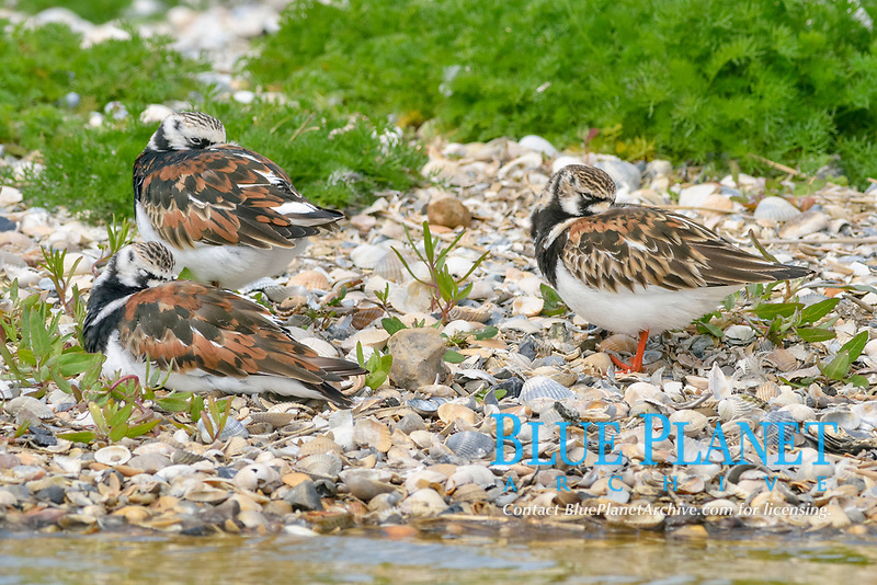 Ruddy Turnstone (Arenaria interpres), Texel, province of North Holland, The Netherlands, Europe