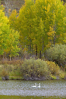 Trumpeter Swans on Snake River with fall color. Grand Teton National Park, Wyoming