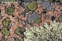 LI08-003b  Lichen - mixed types on rock - Foliose and Crustose