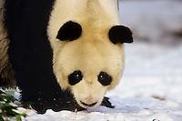 Giant Panda (Ailuropoda melanoleuca) in winter snow.