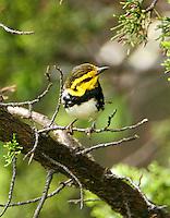 Juvenile male golden-cheeked warbler