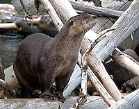 The River Otter (Lutra canadensis)<br /> is the only semiaquatic member of the family Mustelidae, which also includes weasels, badgers, and wolverines.