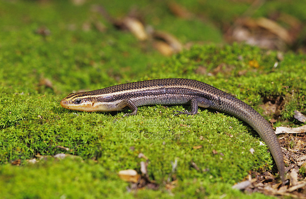 Four-lined Skink, Eumeces tetragrammus tetragrammus, adult on moss, The Inn at Chachalaca Bend, Cameron County, Rio Grande Valley, Texas, USA, May 2004