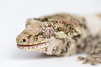 """Mossy New Caledonian gecko (Mniarogekko chahoua) - Found in New Caledonia, South Pacific - Vulnerable on IUCN Red List - """"The primary threat to this species is the continued loss or degradation of forest habitat. This is a particular risk near settlements and along river valleys where agricultural activities are intensifying...Illegal collection and trafficking of Rhacodactylus chahoua is a risk at accessible locations."""" IUCN Red List website"""