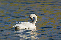 Trumpeter swan preens itself in a small tundra pond along the George Parks Highway in Interior, Alaska.