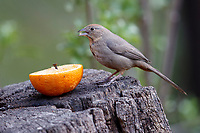 Canyon Towhee (Melozone fusca mesoleuca), feeding on a cut orange at the Paton Center for Hummingbirds, Patagonia, Arizona.