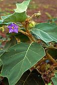 Roraima State, Brazil. Solanaceae sp.; purple flower in the Amazon rainforest.