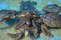 Group of green sea turtles, Chelonia mydas, copulate in the tank at the Sea Life Park, Oahu, Hawaii, USA (captive)