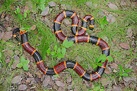 Texas Coral Snake (Micrurus tener), adult in leaf litter, Refugio, Coastel Bend, Texas, USA