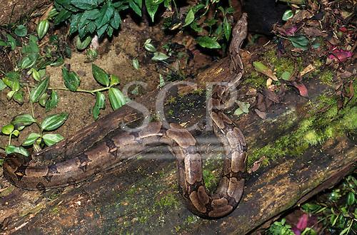 Iguacu, Parana, Amazon, Brazil. Anaconda on a tree trunk.