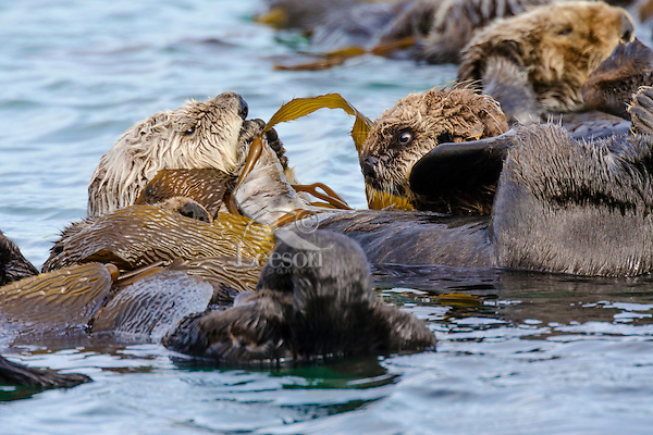 """Southern Sea Otter (Enhydra lutris nereis) mother with young pup resting in kelp.  Central California Coast.  Sea otters often wrap kelp around themselves so that they do not drift off with the tide/wind/current while resting.  They often do this in a communal area and this is called """"rafting."""""""