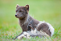Arctic Fox (Alopex lagopus), West Fjords, Iceland, Europe