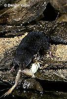 MU40-146z  Water Shrew - with frog prey - Sorex palustris