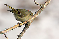 This little Ruby-crowned Kinglet's enjoying some morning sun, after an over-night snowfall(Note the white BG).