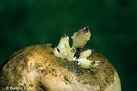 HS05-021b  Potato - eye