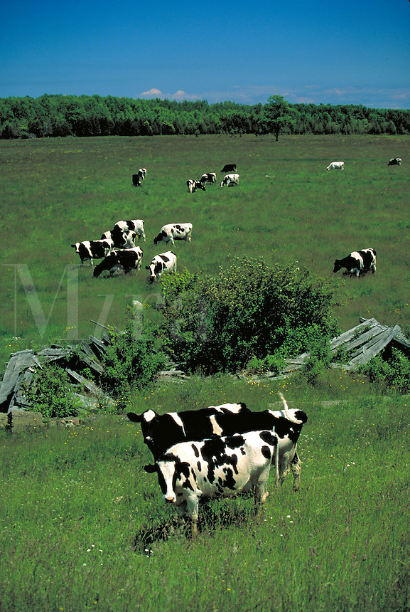Dairy cattle in pasture, farms, farming, cows. Harbor Beach Michigan USA nearby.