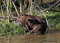 0715-0805  Nutria (syn. Coypu), Myocastor coypus © David Kuhn/Dwight Kuhn Photography