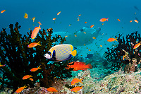 reef manta ray, Mobula alfredi, at coral reef cleaning station, with emperor angelfish, Pomacanthus imperator, coral grouper, Cephalopholis miniata, and orange basslets, Pseudanthias squamipinnis, in foreground, Dharavandhoo Thila, Baa Atoll, Maldives, Indian Ocean