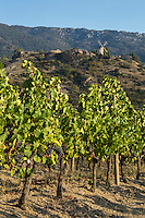 France, Aude (11), Cucugnan, le  vignoble AOC Corbières,  et en fond le moulin d'Omer et le château cathare de Quéribus   // France, Aude, Cucugnan, the  vineyard  Corbieres (AOC) , in the background, Omer windmill and Queribus cathar castle