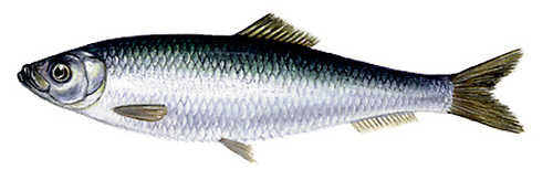 Sprat - there are calls for a 'robust scientific study' of this vital species to the ocean food chain
