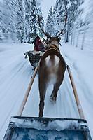 Europe/Finlande/Laponie/ Env de Levi: Levin Lapinkylä est une ferme traditionnelle le long de la Ounasjoki -C'est:La ferme de rennes