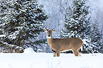 White-tailed doe standing in the deep winter snow of northern Wisconsin.