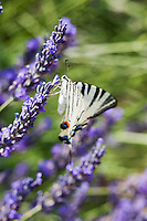 Europe/France/Provence-Alpes-Côte d'Azur/84/Vaucluse/Lubéron/Env de Saignon: Détail champ de Lavande et papillon: Le Flambé, Iphiclides podalirius