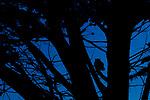 Great Horned Owl (Bubo virginianus) at dusk, Point Reyes National Seashore, California