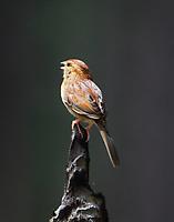 Bachmann's sparrow singing