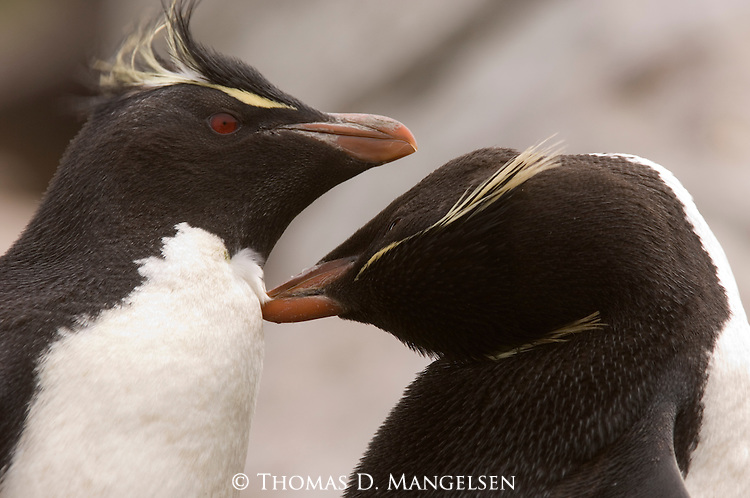 Two rockhopper penguins court on West Point Island in the Falkland Islands.