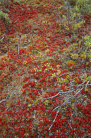 Tundra, Gates of the Actic NP,Alaska,Red,Noatak River