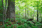 Old yellow birch in hardwood forest on the side of Mount Blue in Kinsman Notch of the White Mountains, New Hampshire USA during the spring. This area was part of the  Gordon Pond Railroad, which was a logging railroad in operation from 1907 - 1916.