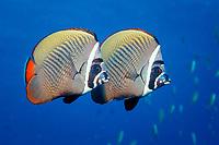 butterflyfish, Chaetodon collare, Maldives Island, Indian Ocean, Ari Atol (atoll)