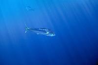 Common dolphinfish, Coryphaena hippurus, Mexico, Pacific Ocean