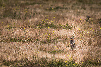 A ground squirrel on alert at Martin Luther King Jr. Regional Shoreline near the Oakland International Airport.  Urban wildlife.